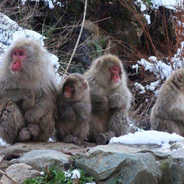 Monkey Madness in Nagano