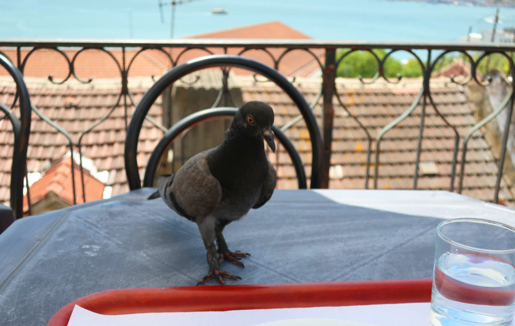 Table pigeon