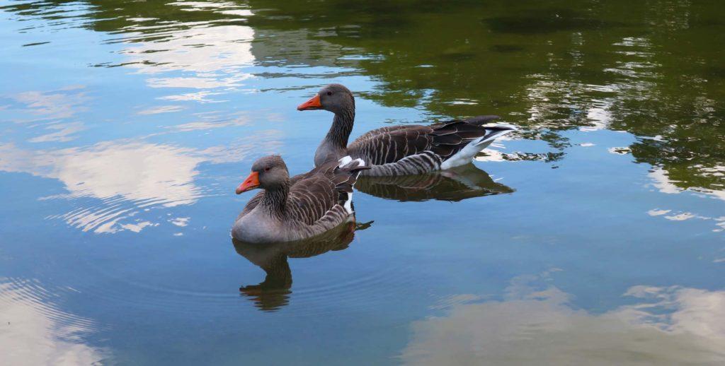 Ducks in a park in Hamburg, Germany