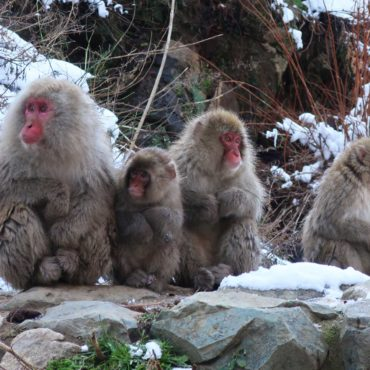 Monkey Madness in Nagano